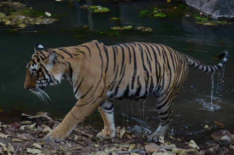 El tigre de Ranthambore se levanta del agua durante el safari de Ranthambore foto de archivo libre de regalías