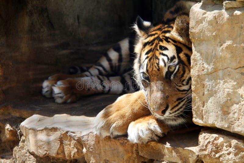 El tigre de Ussurian está triste en cautiverio en el parque zoológico imagenes de archivo