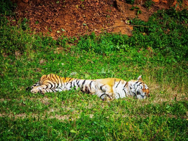El tigre miente relajado en la hierba y los restos fotos de archivo