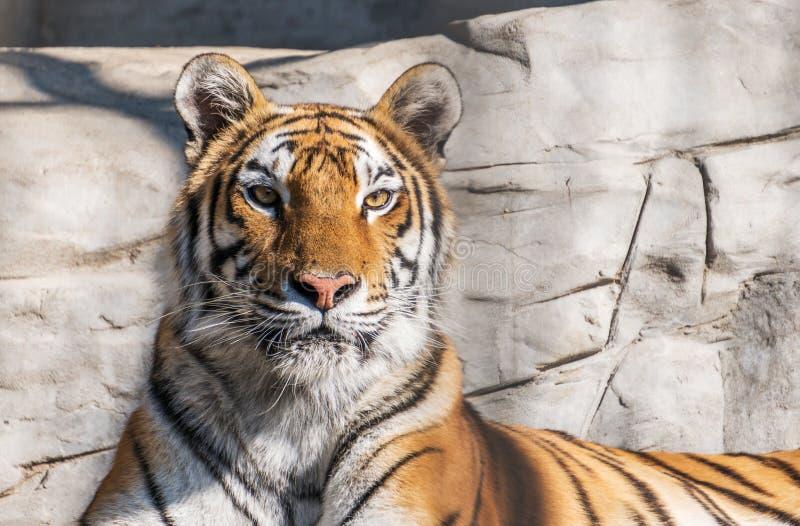 El tigre se sienta en concepto salvaje, del animal y de la selva profundo fotos de archivo