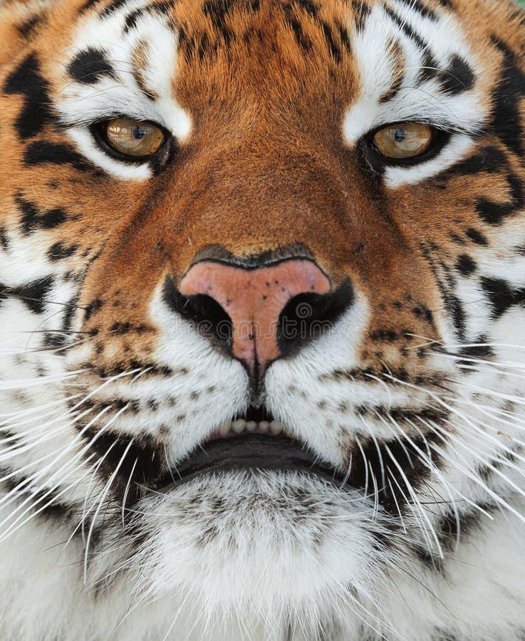 El tigre siberiano imágenes de archivo libres de regalías
