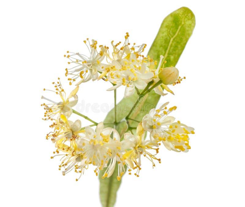 El tilo florece con las hojas verdes aisladas en el fondo blanco foto de archivo libre de regalías