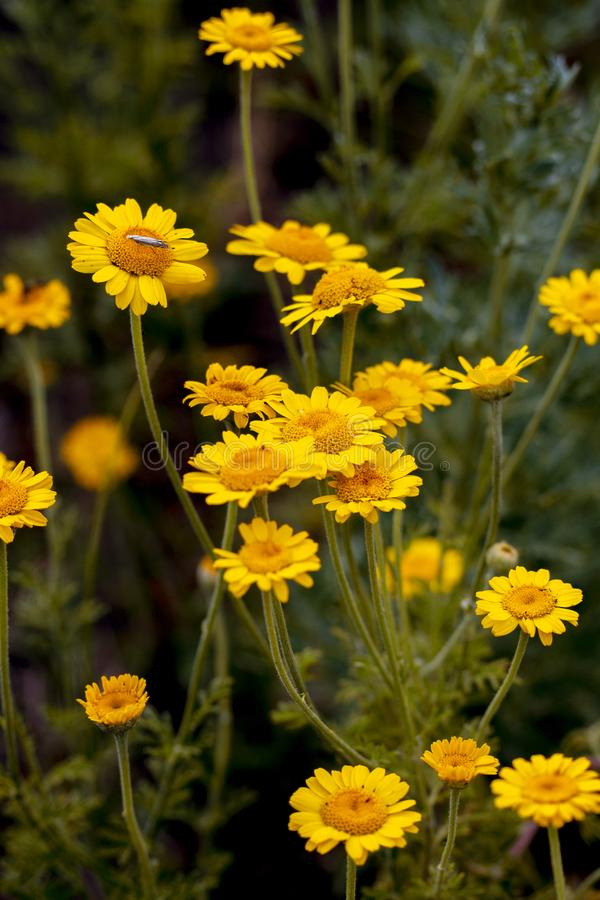 El tinctoria amarillo del Anthemis de la flor también llamó la margarita de oro imágenes de archivo libres de regalías