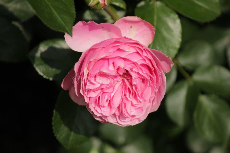 El tipo de Rose nombró Leonarda da Vinci en el primer aislado de un rosario en Boskoop los Países Bajos imagen de archivo