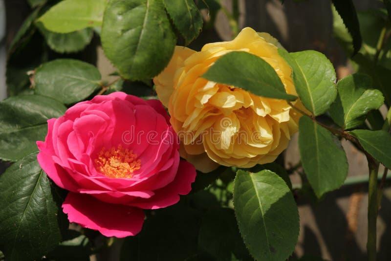 El tipo de Rose nombró el paño grueso y suave de oro en el primer aislado de un rosario en Boskoop los Países Bajos fotos de archivo