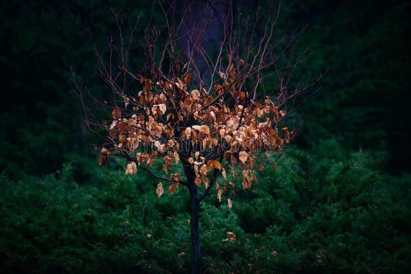 El tiro artístico de un árbol con amarillo de oro que brilla intensamente se va con d fotos de archivo libres de regalías