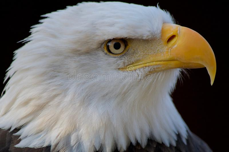 El tiro del perfil del primer del águila calva acentúa su pico enganchado amarillo imagenes de archivo