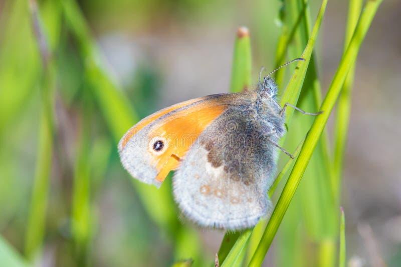 El tiro macro de la mariposa anaranjada hermosa en la pequeña rama de la hierba verde en el tiempo soleado caliente del verano fotos de archivo