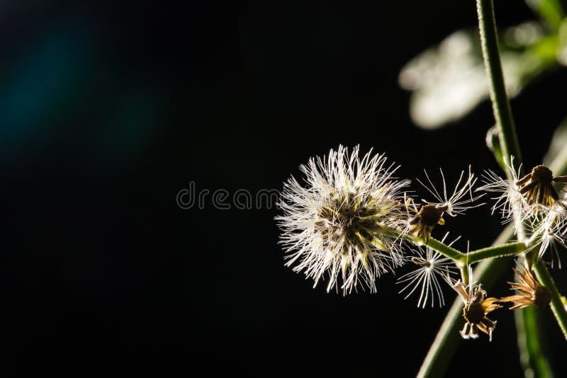 El tiro macro del diente de león blanco hermoso florece en bosque fotos de archivo libres de regalías