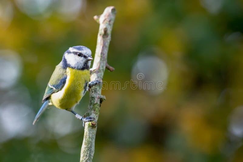 El Tit azul Cyanistes Caeruleus se encaramó en rama con el CCB del otoño fotos de archivo