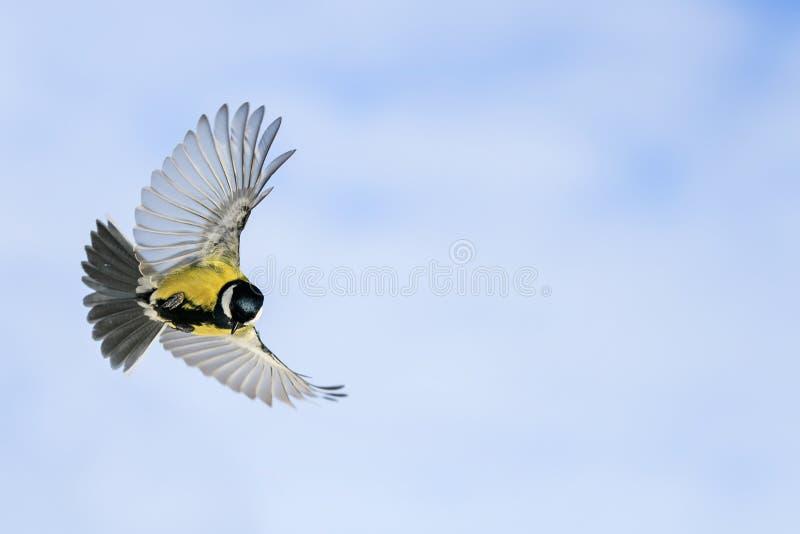 el tit del pájaro vuela extensamente separando sus alas y plumas en jardín de la primavera en el fondo del cielo azul soleado foto de archivo