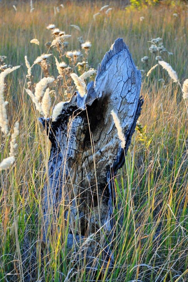 El tocón chamuscado en hierba seca amarilla y blanco marchitó las flores imagenes de archivo