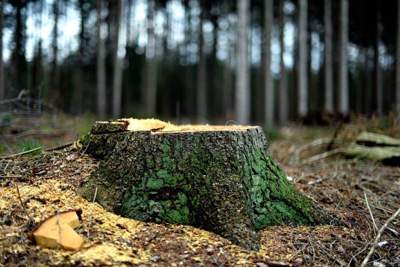 El tocón de árbol de un árbol de abeto Silvicultura en el trabajo fotos de archivo libres de regalías