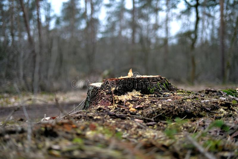El tocón de un árbol recientemente cortado cerca de un camino de tierra en la montaña de Heriker fotografía de archivo libre de regalías