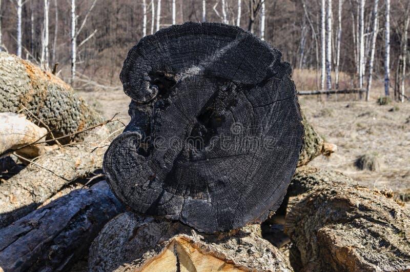 El tocón del árbol cortado viejo quemado del plumón imagen de archivo libre de regalías