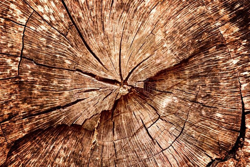 El tocón del roble derribó - la sección del tronco con los anillos anuales fotos de archivo