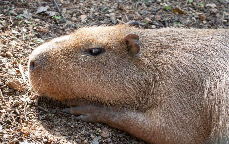 El tomar el sol del capybara foto de archivo libre de regalías