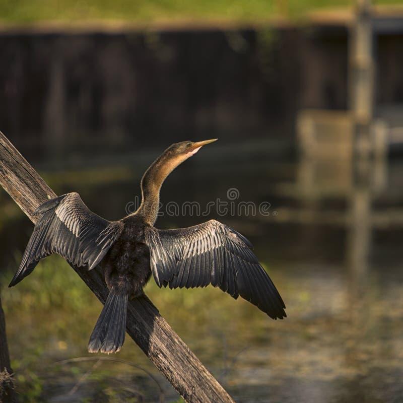 El tomar el sol del pájaro de Limpkin fotografía de archivo libre de regalías