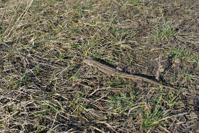 El tomar el sol gris del lagarto camuflado en fondo de la hierba gris y primero verde fotografía de archivo libre de regalías