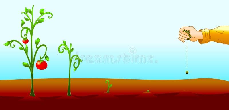El tomate crece stock de ilustración