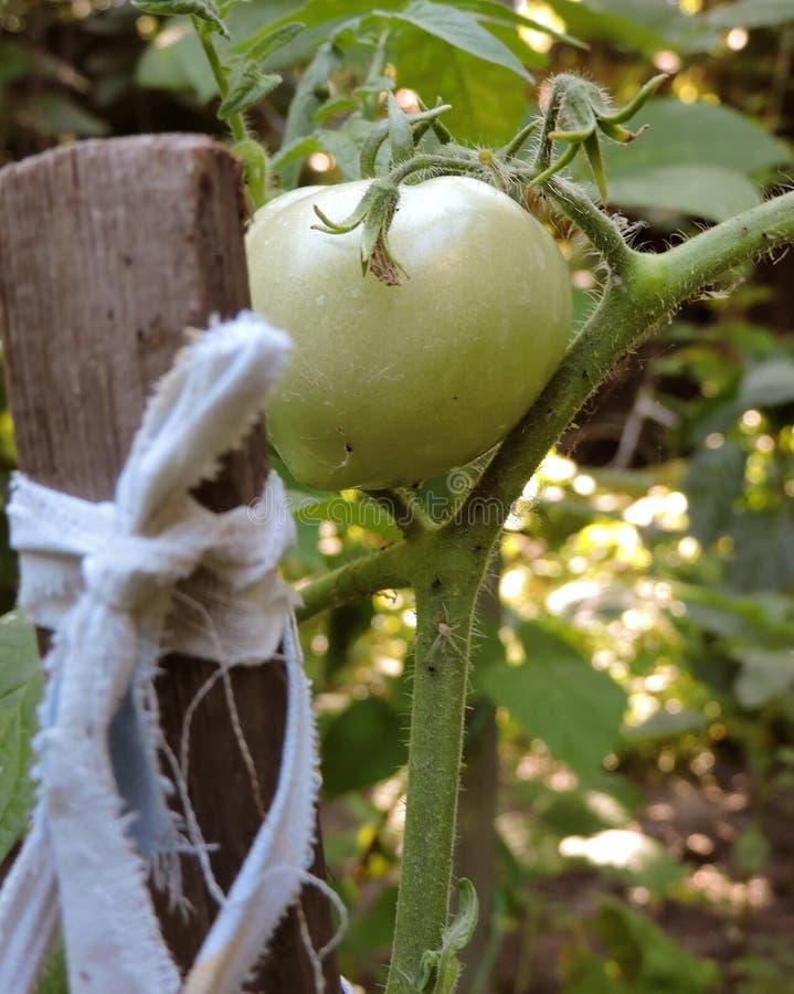 El tomate verde se ata firmemente a una clavija de madera fotografía de archivo