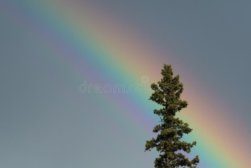 El top del árbol de la picea aclaró por un arco iris fotos de archivo libres de regalías