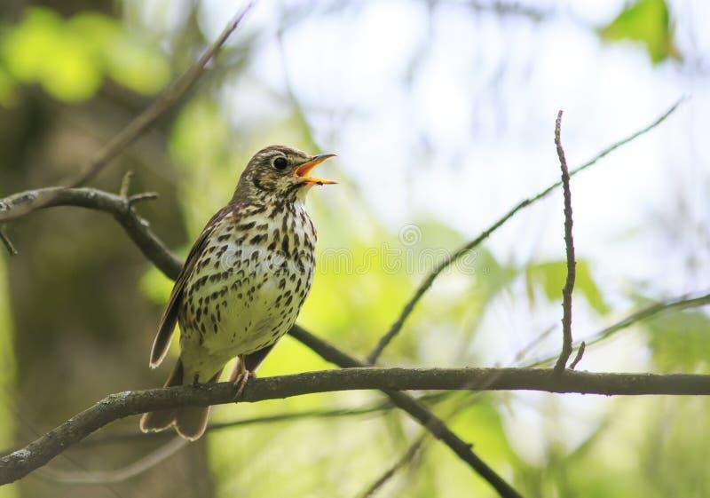 El tordo de canción del pájaro canta en alta voz en el bosque de la primavera fotografía de archivo libre de regalías