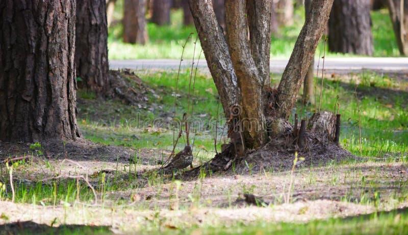 El tordo de canción está buscando insectos en la tierra cerca de las raíces en el parque del país D?a de resorte asoleado Philome imagen de archivo