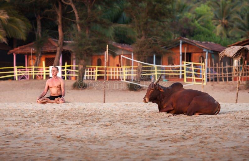 El toro de Brown miente cerca del hombre que medita imagenes de archivo