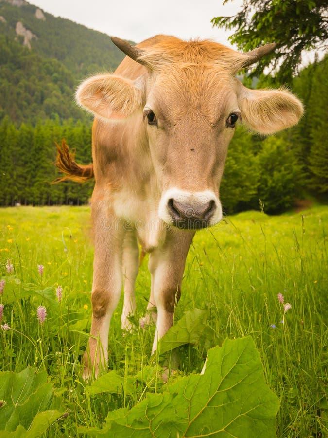 El toro joven foto de archivo
