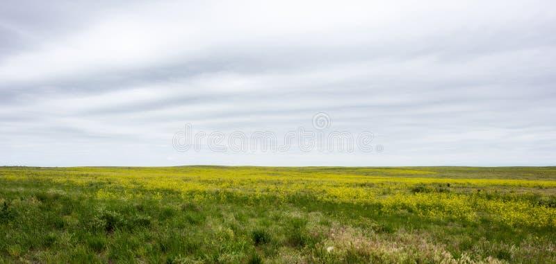 El trébol dulce amarillo florece los officinalis de Melilotus en la floración encendido fotos de archivo libres de regalías