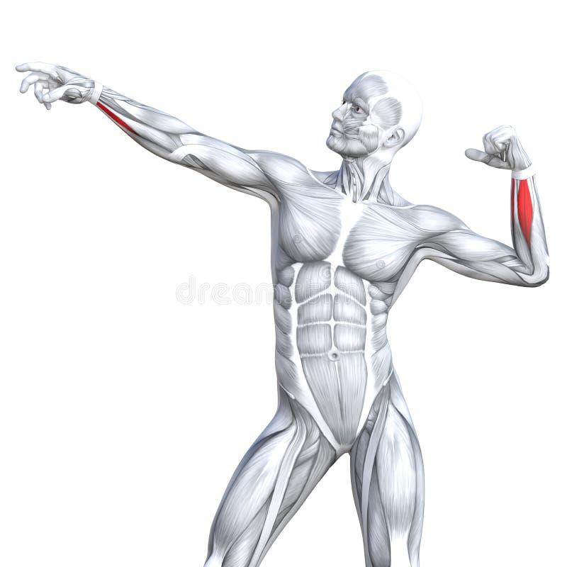 El Tríceps Del Ejemplo 3D Cupo La Anatomía Humana Fuerte Stock de ...