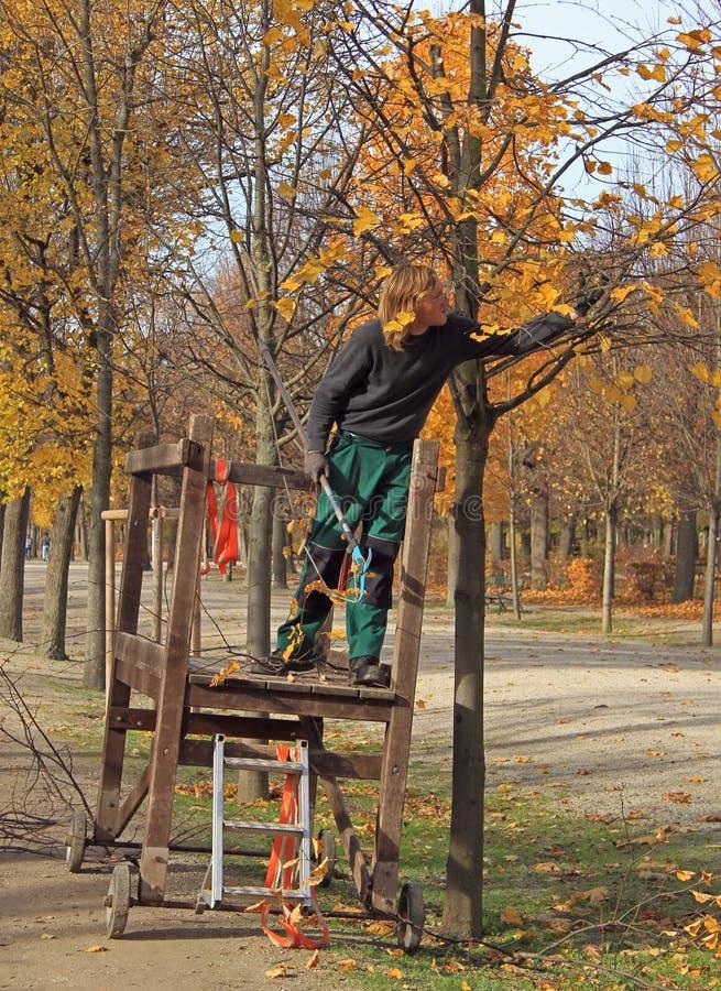 El trabajador corta ramas secas de un árbol fotografía de archivo libre de regalías