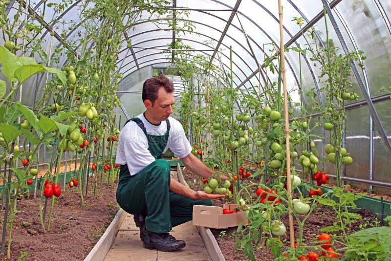 El trabajador cosecha los tomates en el invernadero imagenes de archivo