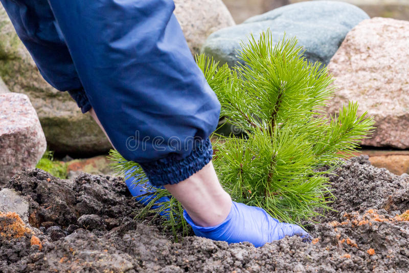 El trabajador del jardín planta un pino joven fotos de archivo