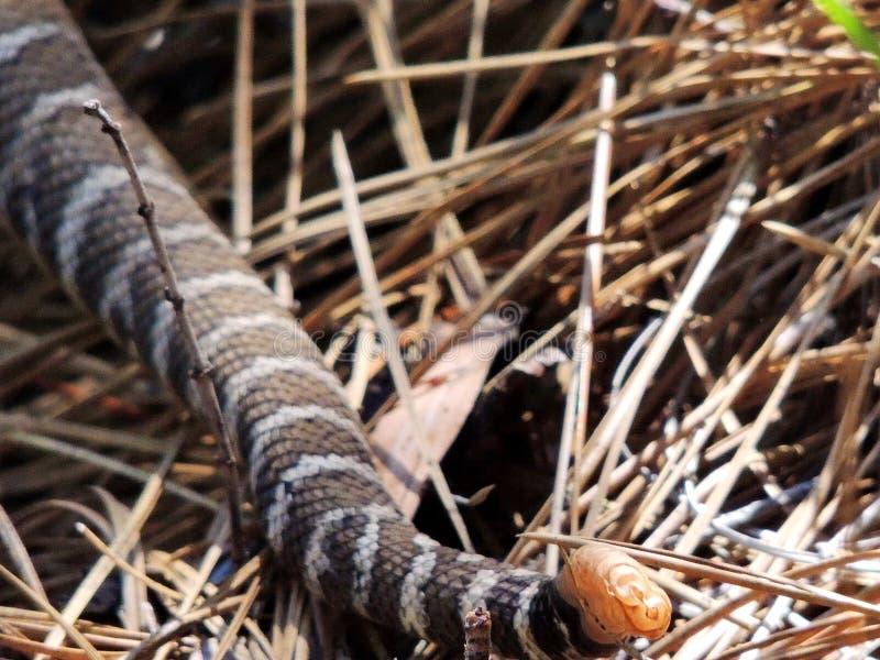 El traqueteo de la serpiente de cascabel pacífica septentrional, rastro pacífico de la cresta, Castella, California, los E.E.U.U. foto de archivo libre de regalías