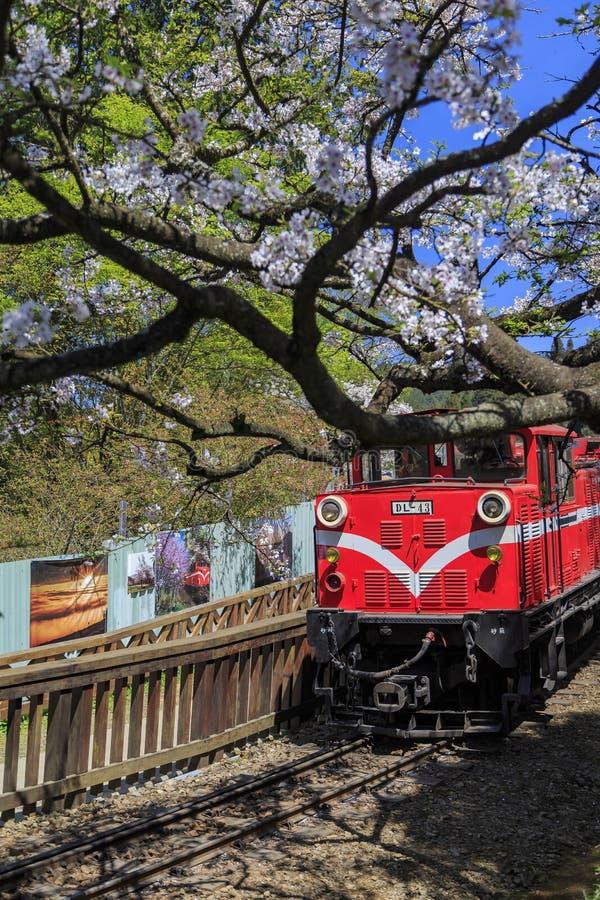 El tren y el cerezo rojos florecen en Alishan que son escénicos nacionales imagen de archivo