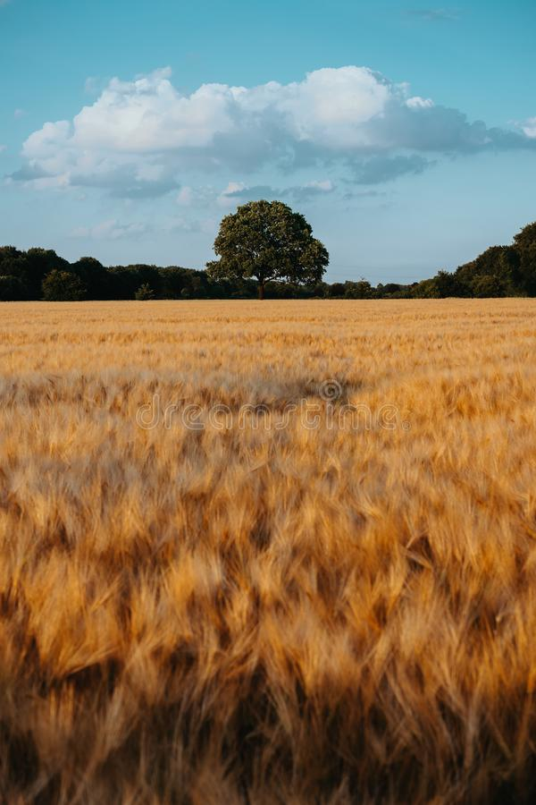 El trigo del oro voló con el roble en el cielo medio y azul con las nubes blancas en la luz de la puesta del sol, campo rural imagen de archivo libre de regalías