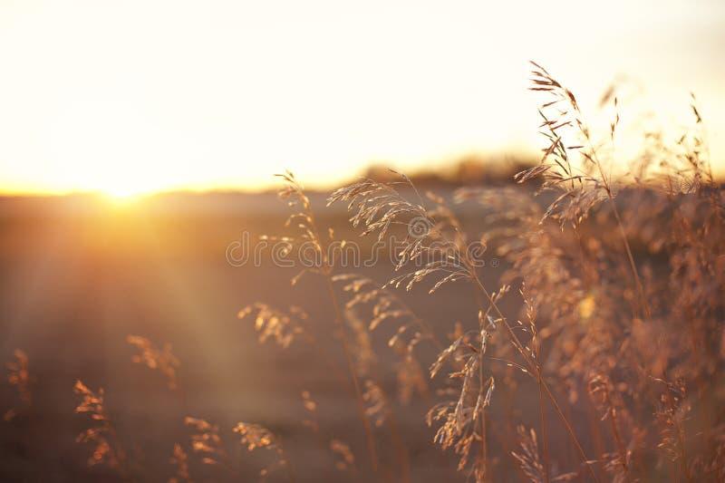 El trigo/los granos en una lente de la puesta del sol de la pradera señala por medio de luces fotos de archivo libres de regalías