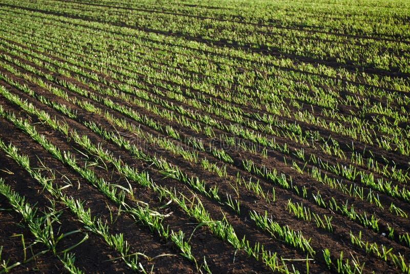 El trigo verde brota en el campo al atardecer imagen de archivo libre de regalías