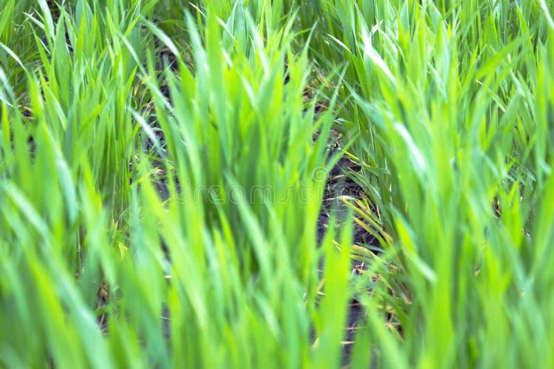 El trigo verde joven crece en el suelo fotografía de archivo libre de regalías