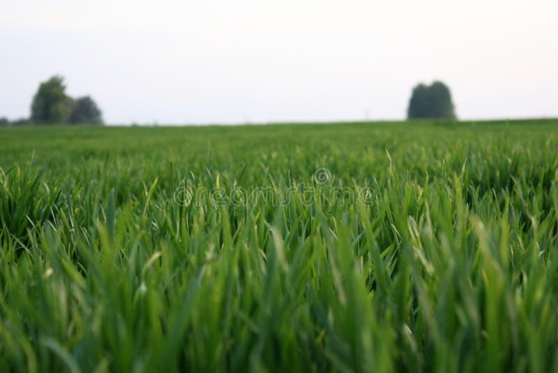 El trigo verde joven crece en un campo Filas de los brotes del trigo, paros verdes del trigo cerca para arriba fotografía de archivo libre de regalías