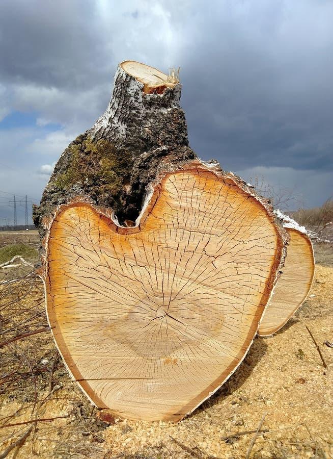 El tronco aserrado de un ?rbol de abedul miente en la tierra imagen de archivo libre de regalías