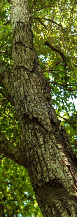El tronco de árbol del chicle muestra cortes del machete en corteza sho panorámico fotografía de archivo libre de regalías