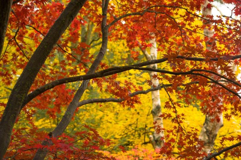 El tronco de árbol grueso de la corteza oscura ramifica las hojas estacionales del color de la caída fotos de archivo