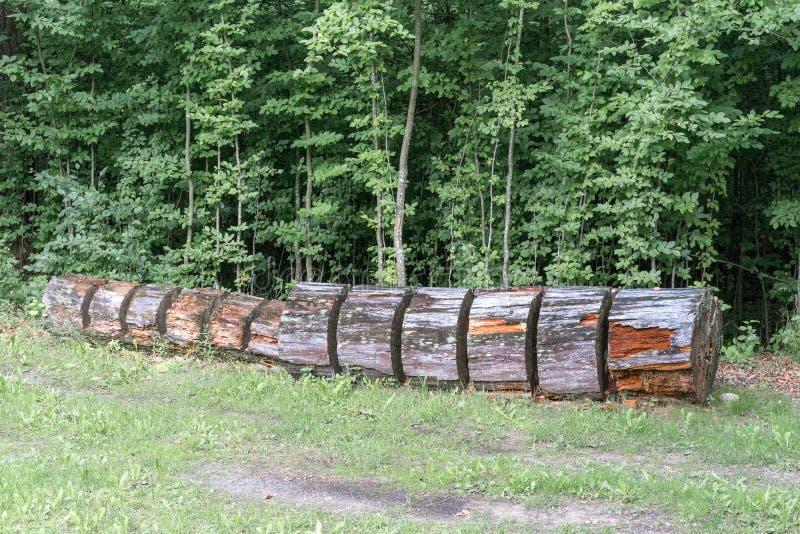 El tronco de un árbol grande se corta a los pedazos y miente en la tierra fotos de archivo libres de regalías