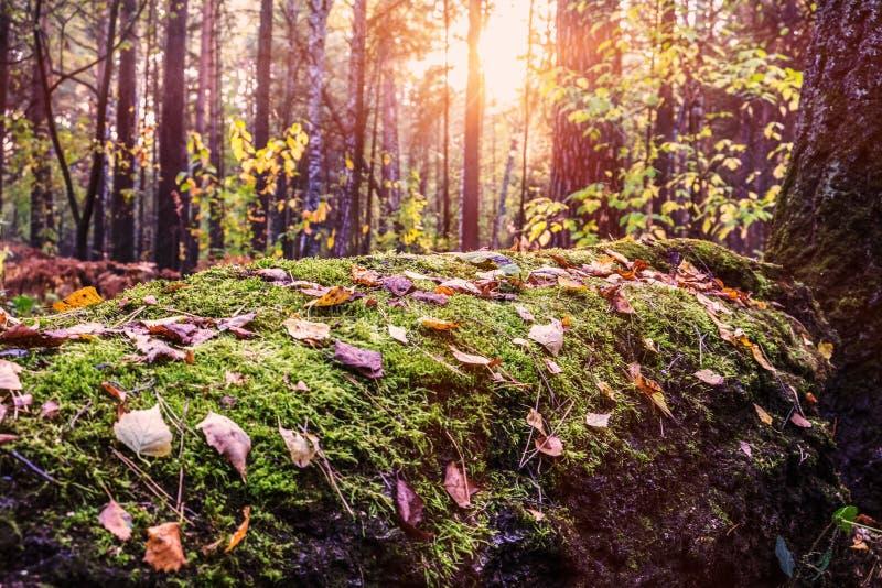 El tronco del árbol se cubre con el musgo y el follaje, iluminados maravillosamente por los rayos del sol poniente imagenes de archivo
