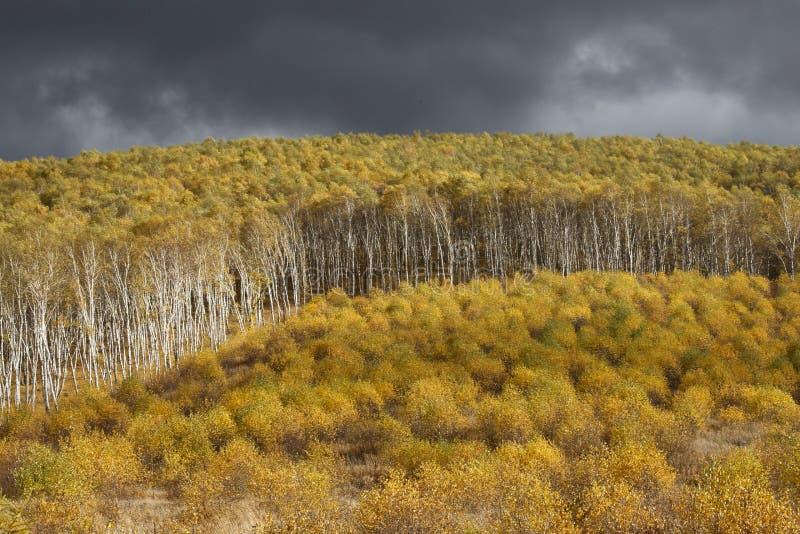 El tronco del blanco, amarillo se va debajo del cielo oscuro fotos de archivo