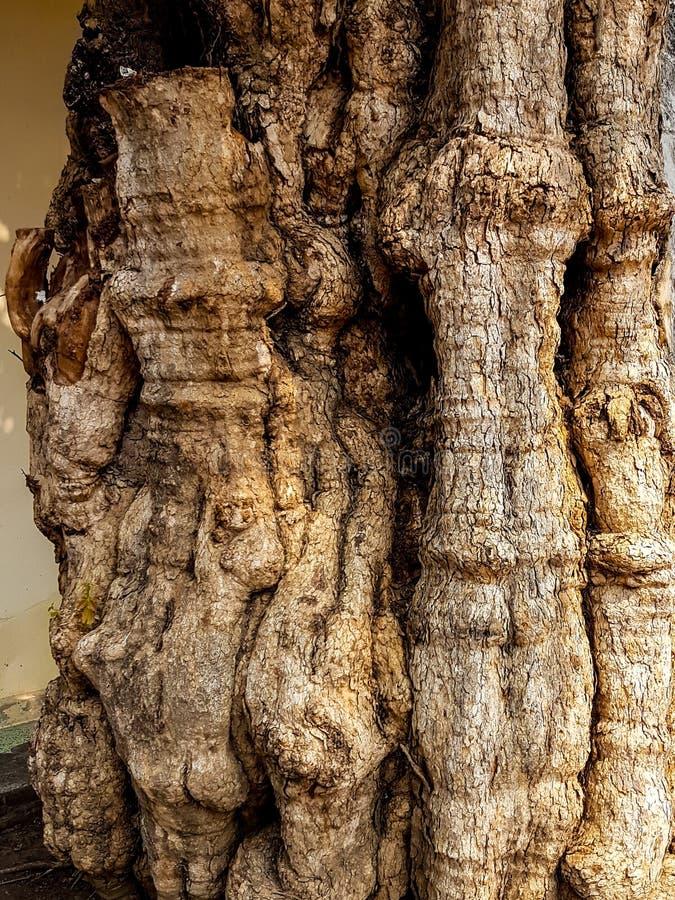 El tronco extraño del árbol le gusta un cuerpo humano fotos de archivo libres de regalías