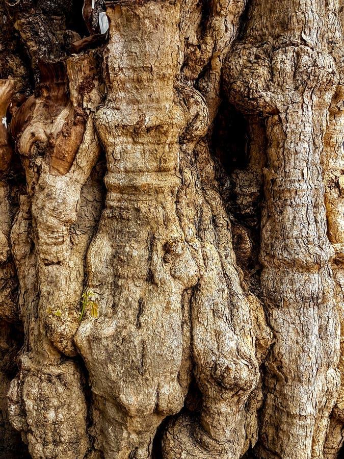 El tronco extraño del árbol le gusta un cuerpo humano fotografía de archivo libre de regalías